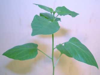 c.chacoense - Putapario